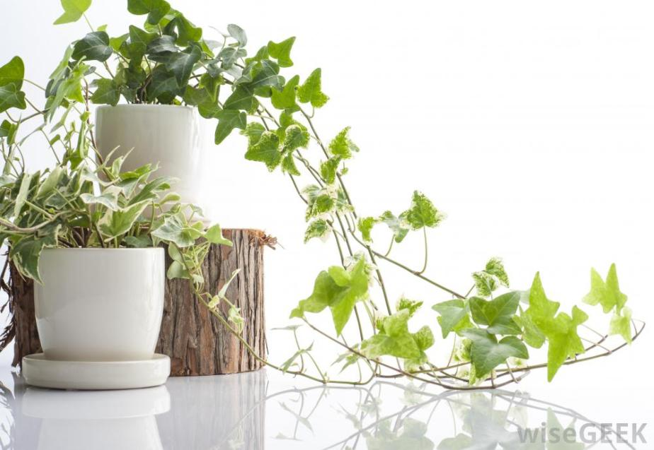 ivy-plants-against-white-background